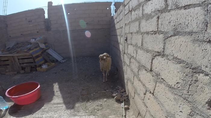 sheep still